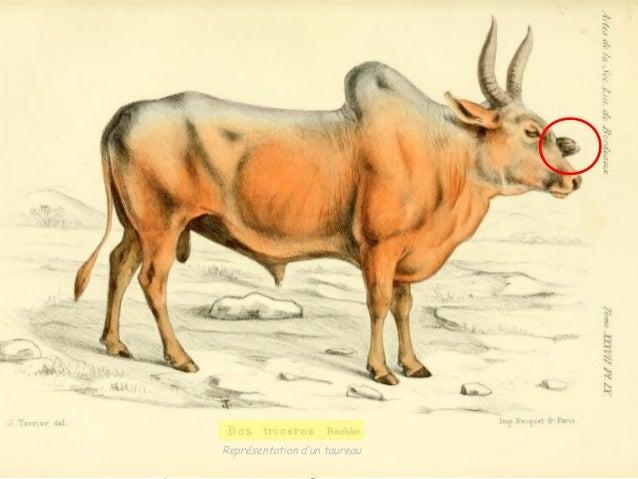 Roche brune A.T. de. Formation de Représentation races nouvelles. d'un taureau  Recherches d'ostéologie comparée sur une  ...