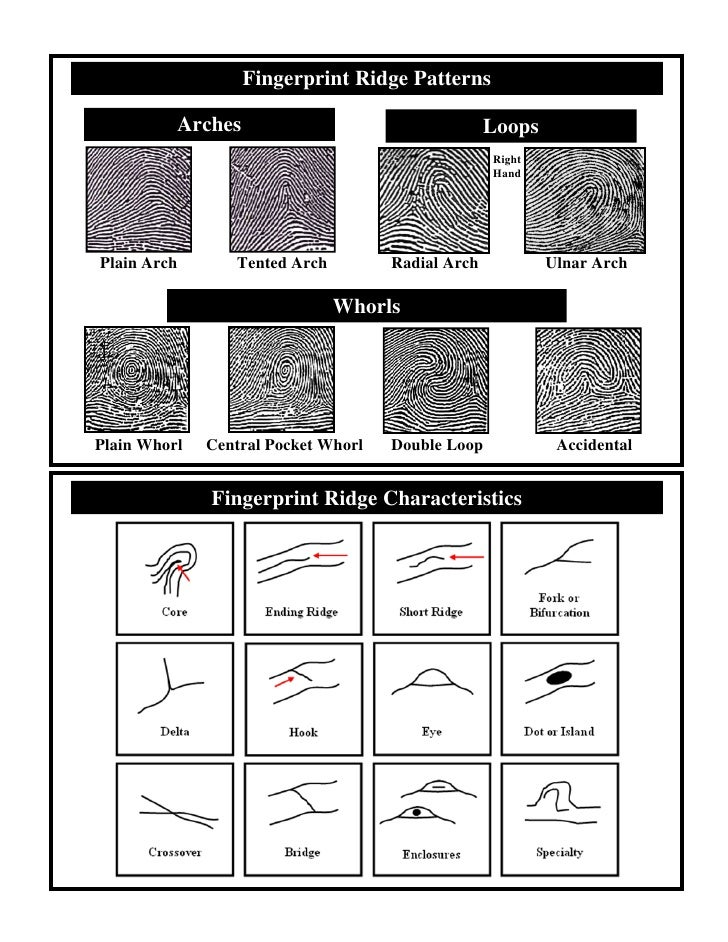 Fingerprint Ridge Patterns            Arches                                   Loops                                      ...