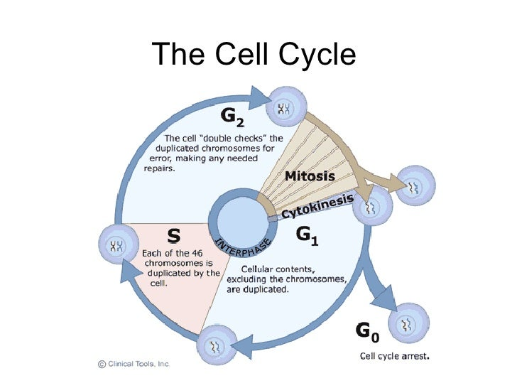 introduction to cell division and heredity The biology project cell biology intro to cell cycle & mitosis tutorial the cell cycle & mitosis tutorial the cell cycle stages of the cell cycle m the cell cycle is an ordered set of events this is li fraumeni syndrome, where a genetic a defect in p53 leads to a high frequency of cancer in affected.