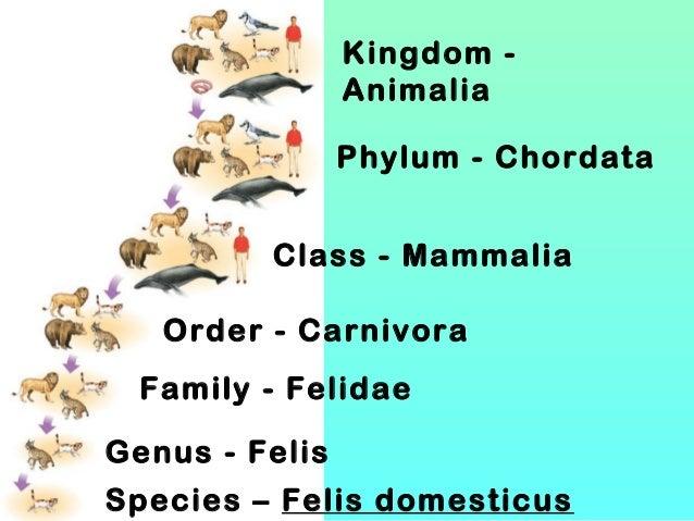 Kingdom Animalia Phylum - Chordata Class - Mammalia Order - Carnivora Family - Felidae Genus - Felis Species – Felis domes...