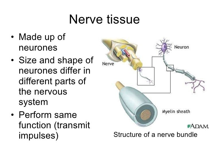 a p ii nervous tissue Study flashcards on a&p i: nervous tissue at cramcom quickly memorize the terms, phrases and much more cramcom makes it easy to get the grade you want.
