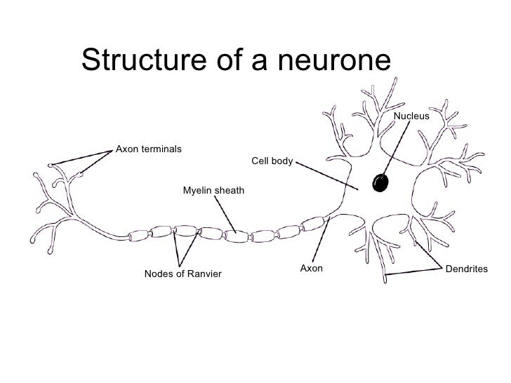 Chapter 13 the nervous system lesson 2 the structure of nerves ccuart Gallery