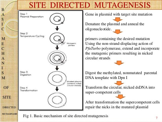 site directed mutagenesis Instruction manual genetailorž site-directed mutagenesis system for standard and high-throughput in vitro site-directed mutagenesis catalog nos 12397-014 and 12397-022.