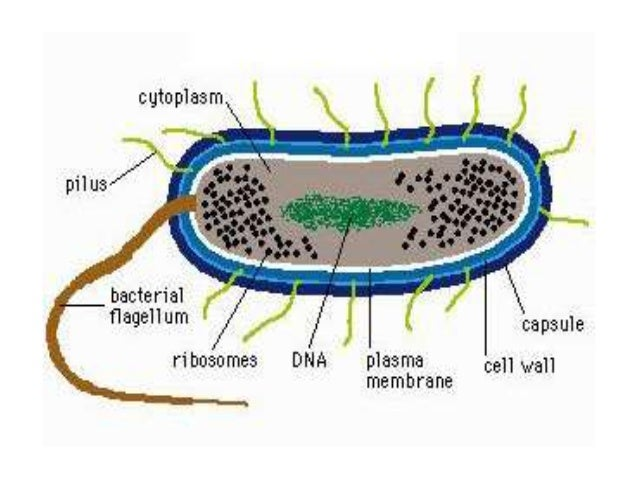 Bacterial structure diagram basic guide wiring diagram structure growth and reproduction of bacteria rh slideshare net animal cell structure diagram bacterial cell structure ccuart Image collections