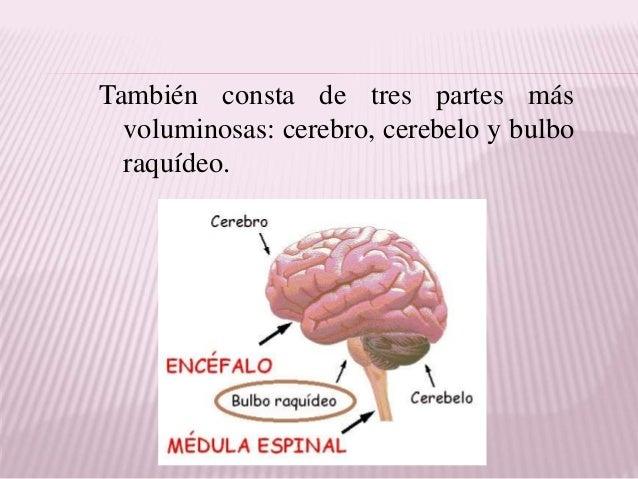 2 tema. anatomia del sistema nervioso central.