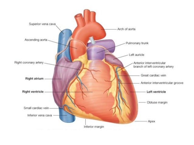 Heart showing diagram of surfaces electrical work wiring diagram 2 the heart rh slideshare net simple diagram of heart detailed heart diagram ccuart Images