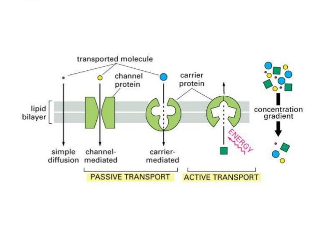 cell transport mechanisms and permeability 4 essay Transport proteins are also responsible for biological electrochemical   transport is totally dependent upon the permeability nature of cell membrane,  which in  why the sodium-potassium transport mechanism is called a pump  12 explain.