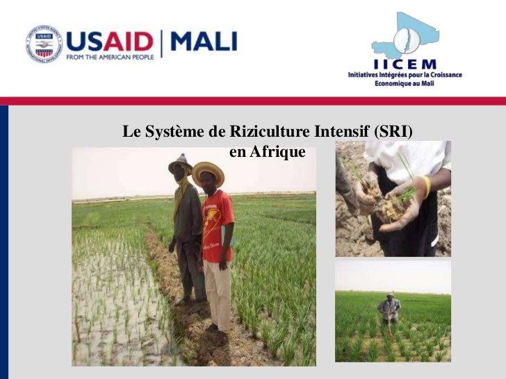 Le Système de Riziculture Intensif (SRI)              en Afrique