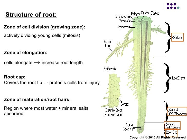 Chapter 9 transport in plants lesson 2 xylem and phloem for Soil zone definition