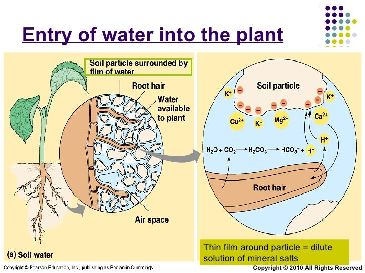 Chapter 9 Transport in Plants Lesson 2 - Xylem and Phloem structure a…