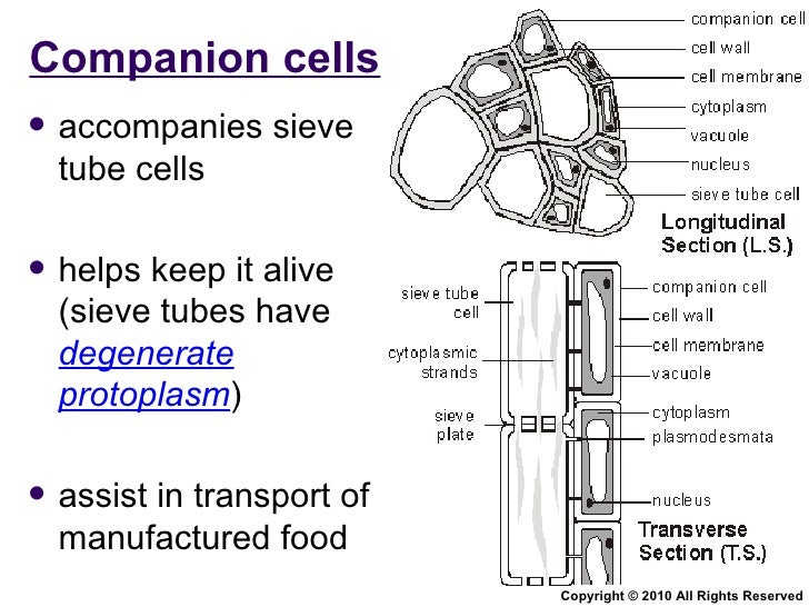 phloem structure and function pdf