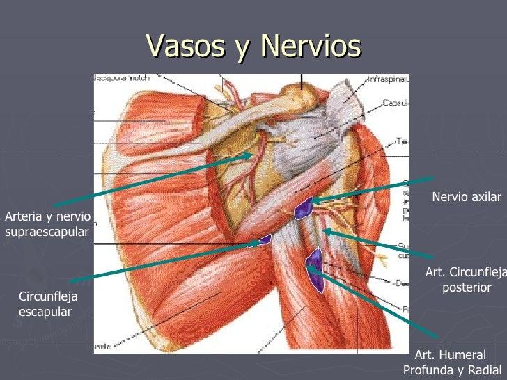 anatomia de brazo y hombro