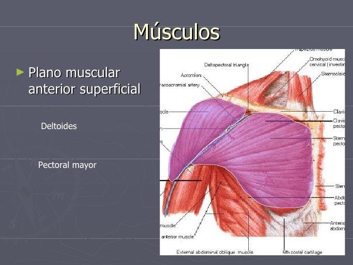 Encantador Hombro Imagen Anatomía Bandera - Anatomía de Las ...