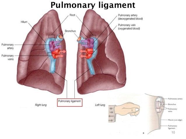 thorax pleura, Human Body