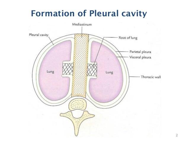 Pleural Cavity – defenderauto.info