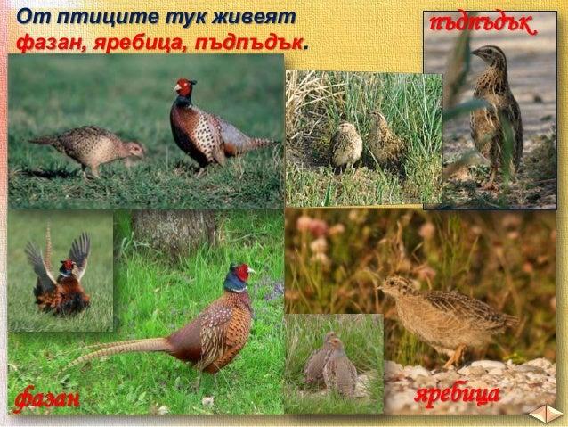 Те заедно с други прелетни птици зимуват далече на юг, а напролет пристигат по нашите земи и отглеждат поколението си.