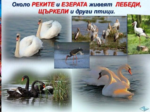 Лебедите и щъркелите образуват брачни двойки за цял живот. Ако единият от двамата загине, другия остава сам до края на дни...