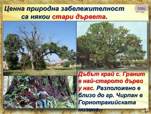 """Много други стари дървета са под закрила на държавата ни. Те са """"природната памет"""" на нашите земи."""