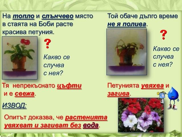 КАК СЕ ПРЕНАСЯ ВОДАТА В РАСТЕНИЯТА? план 1. Завързваме около листо на растение прозрачно пластмасово пликче. 2. Поливаме р...