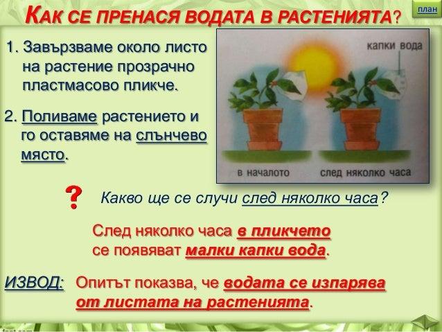 """КАК РАСТЕНИЯТА ИЗРАБОТВАТ ХРАНАТА СИ? план  Листата са """"зелените фабрики"""", в които растенията изработват храната си. Те ..."""