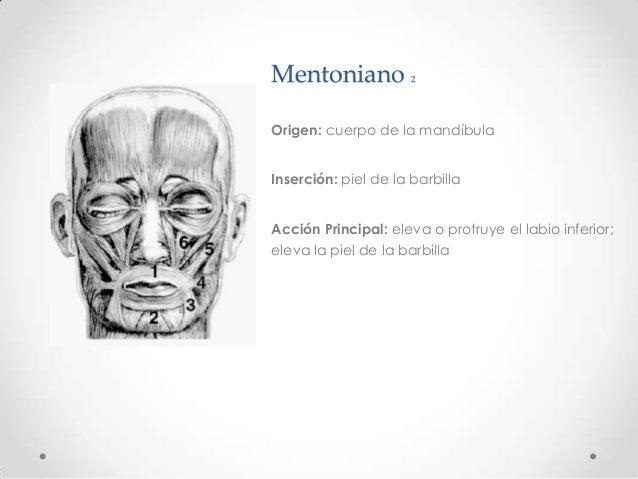 Anatomía cabeza - musculos, nervios, arterias y venas de la cara