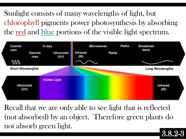 3.8.2-3 Sunlight consists of many wavelengths of light, but chlorophyll pigments power photosynthesis by absorbing the red...