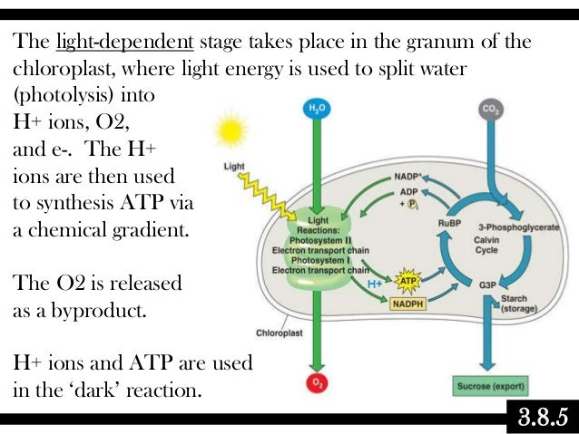 3.8.5 The light-dependent stage takes place in the granum of the chloroplast, where light energy is used to split water (p...