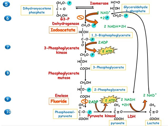 Glycolysis with animated pathway Pathway images