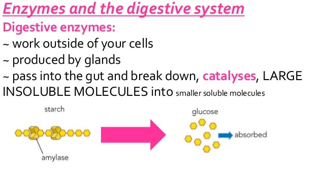B2-3.3 enzymes in digestion