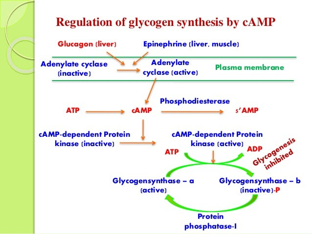 glycogen breakdown and protein synthesis Involved in glycogen breakdown and synthesis (glycogen  muscle protein  breakdown, increased fat metabolism (calcu- lated from.