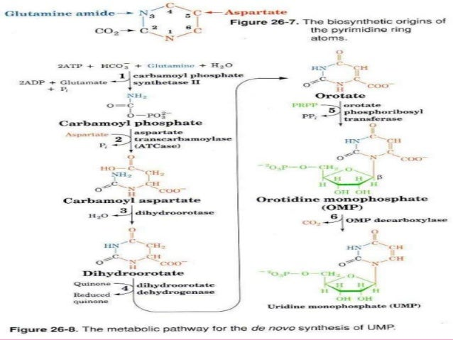 pyrimidine synthesis In the de novo synthesis of pyrimidines pathway annotations associated with genes in the de novo pyrimidine biosynthetic pathway: pathways/genes genes/pathways.