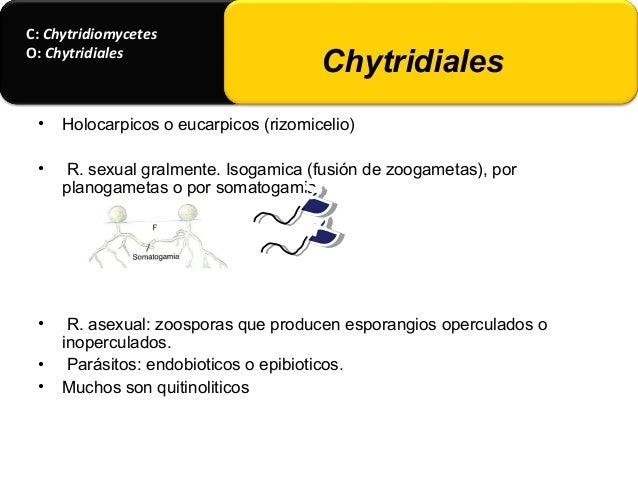 • Rozella allomycis. Parasito obligado de hongos acuaticos Allomyces arbucula y A. javanicus. • Sphaerita endogena. Introc...
