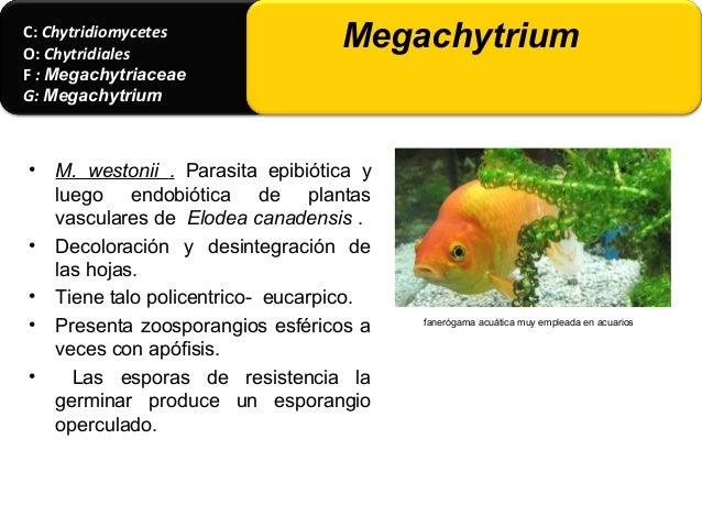 • La > tiene 2 talos o micelios 1) talo gametofito (gametotalo) 2) talo esporofito (esporotalo). = alternancia de generaci...