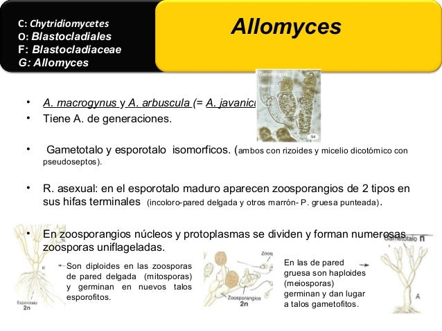 • A. cystogenus y A. moniliformis. Esporofitos y gametofitos (pequeños- globulosos) son heteromorficos . • A. anomalus. Ca...