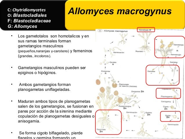 • Tiene especies saprobias acuáticas no se a observado reproducción sexual. • La especia mas común es B. pringsheimii. C: ...