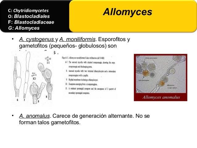• Especies saprobias de talo pequeño. • Rizoides hacia la base o lados, estructura + o - claviforme. • Sexo y la morfogéne...