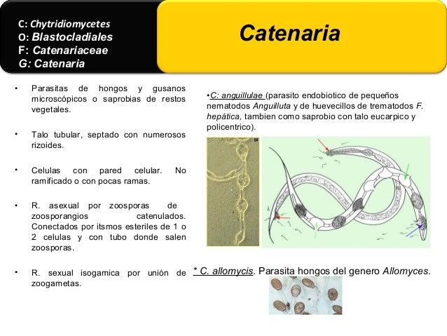 • Gralmente. micelio vegetativo o somático bien desarrollado con rizoides que lo fijan al sustrato. • Hifas cuyo protoplas...