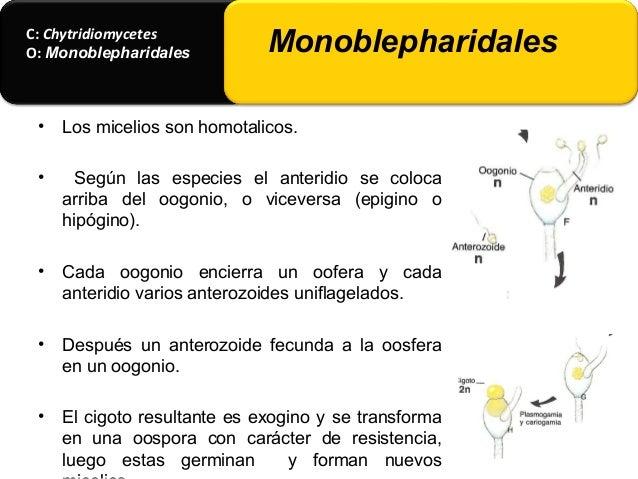 C: Chytridiomycetes O: Monoblepharidales Monoblepharidales • 3) Por formar anterozoides se diferencian de Saprolegniales p...