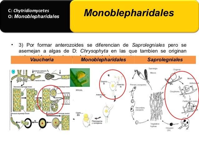• De los oogonios se desarrollan los gametangios masculinos (anteridios) y cada uno de ellos producen varios anterozoides,...