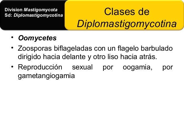 • Division Eumycota, I • Sd: Phycomycotina (Ficomicetes) • Clase: Chytridiomycetes • Ficomicetes mas sencillos y primitivo...