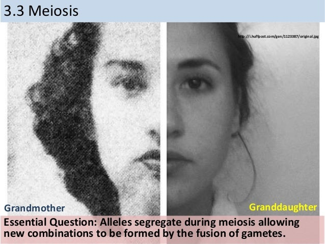 3.3 Meiosis Essential Question: Alleles segregate during meiosis allowing new combinations to be formed by the fusion of g...