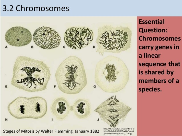 3.2 Chromosomes Essential Question: Chromosomes carry genes in a linear sequence that is shared by members of a species. h...