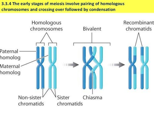 Ib biology 33 slides meiosis meiosis increases variation 10 ccuart Gallery