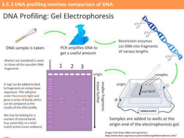 Learn genetics what is dna fingerprinting