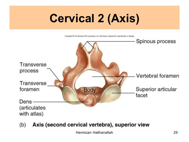 3.5 cervical vertebra
