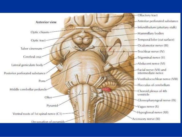 Anatomía y Fisiología del Tronco Encefálico - AVC