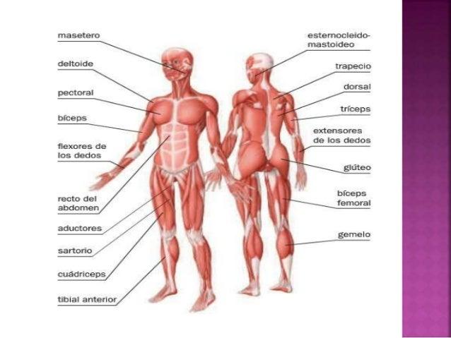 3. sistema muscular