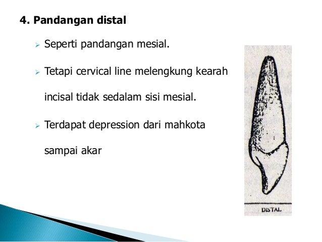 3 Anatomi Gigi Insisivus Kedua Atas Amp Bawah