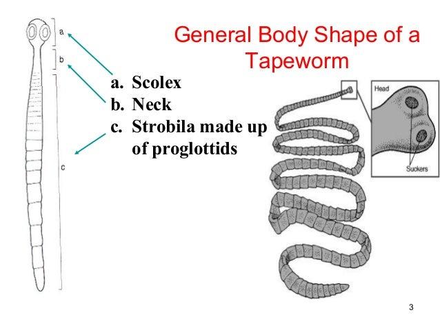 class cestoda  tapeworms