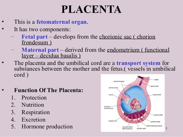 1 PLACENTA • This is a fetomaternal organ. • It has two components: – Fetal part – develops from the chorionic sac ( chori...
